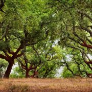 Image result for cork trees portugal